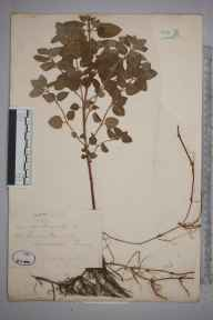 Mentha aquatica herbarium specimen from Woodside, VC17 Surrey in 1872 by Mr William Hadden Beeby.