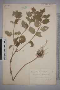 Mentha aquatica herbarium specimen from Wire Mill, VC17 Surrey in 1883 by Mr William Hadden Beeby.