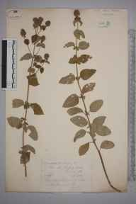 Mentha aquatica herbarium specimen from Sidney Lock, VC17 Surrey in 1884 by Mr William Hadden Beeby.