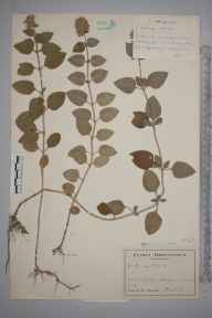 Mentha aquatica herbarium specimen from Hook Green, VC14 East Sussex in 1943 by John Richard Wallis.
