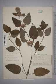 Mentha aquatica herbarium specimen from Nutfield, VC17 Surrey in 1943 by John Richard Wallis.