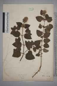Mentha aquatica herbarium specimen from Rickmansworth, VC20 Hertfordshire in 1922 by Mr Isaac A Helsby.