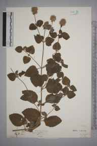 Mentha aquatica herbarium specimen from Bude, VC2 East Cornwall in 1927 by Mr Isaac A Helsby.