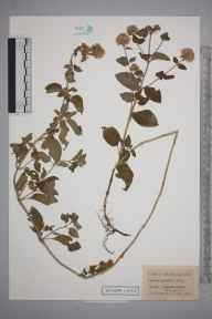 Mentha aquatica herbarium specimen from Bookham Common, VC17 Surrey in 1949 by Edward Benedict Bangerter.