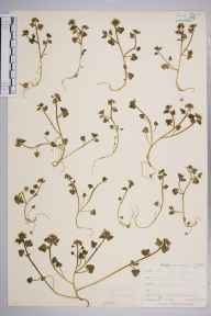 Cochlearia danica herbarium specimen from Flushing, VC1 West Cornwall in 1901 by Mr Allan Octavian Hume.