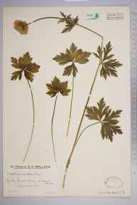 Trollius europaeus herbarium specimen from Lawers Burn, VC88 Mid Perthshire in 1932 by Mr Edward Charles Wallace.