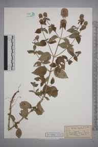Mentha aquatica herbarium specimen from Great Bookham Common, VC17 Surrey in 1953 by Mrs Joan Frances Hall.