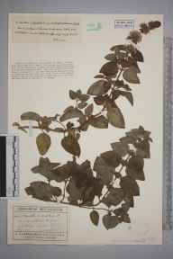 Mentha arvensis x aquatica = M. x verticillata herbarium specimen from Wytham, VC22 Berkshire in 1927 by Mr George Claridge Druce.