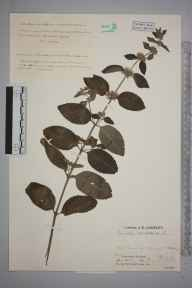 Mentha aquatica herbarium specimen from Pitlochry, VC89 East Perthshire in 1932 by Mr Job Edward Lousley.