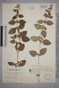 Mentha aquatica herbarium specimen from Stringers Common, VC17 Surrey in 1929 by Mr Edward Charles Wallace.