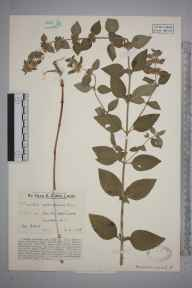 Mentha aquatica herbarium specimen from South Holmwood, VC17 Surrey in 1928 by Mr Edward Charles Wallace.