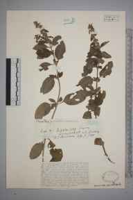 Mentha aquatica herbarium specimen from Lurgashall, VC13 West Sussex in 1928 by Rev Rowland John Burdon.