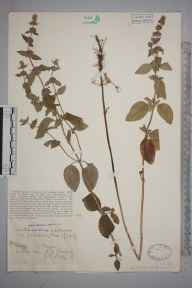 Mentha aquatica x arvensis var paludosa herbarium specimen from Linch, VC13 West Sussex in 1929 by Rev Rowland John Burdon.