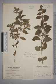 Mentha aquatica herbarium specimen from Ruan Major, VC1 West Cornwall in 1935 by Mr Arthur Langford Still.