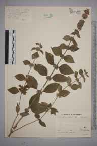 Mentha aquatica herbarium specimen from Colemere, VC40 Shropshire in 1936 by Mr Job Edward Lousley.