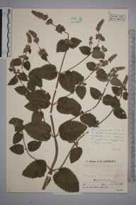 Mentha aquatica herbarium specimen from Perranarworthal, VC1 West Cornwall in 1936 by Mr Job Edward Lousley.