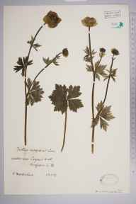 Trollius europaeus herbarium specimen from Logan's Well, VC76 Renfrewshire in 1927 by Mr Robert MacKechnie.