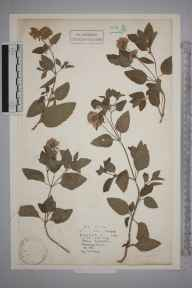Mentha aquatica herbarium specimen from Mablethorpe, VC54 North Lincolnshire in 1886 by Marchioness Mary Antoinette Huntly.