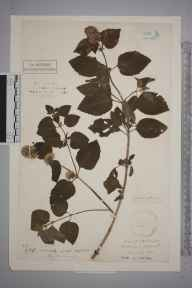 Mentha aquatica herbarium specimen from Wittering, VC32 Northamptonshire in 1883.