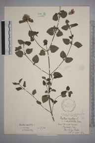 Mentha aquatica herbarium specimen from Reading, VC22 Berkshire in 1942 by Stafford Edwin Chandler.