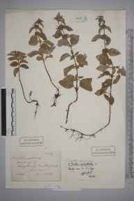 Mentha aquatica herbarium specimen from Hedge Court, VC17 Surrey in 1884 by Mr William Hadden Beeby.