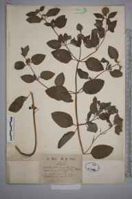 Mentha aquatica herbarium specimen from Weybridge, VC17 Surrey in 1872 by Mr William Hadden Beeby.