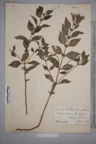 Mentha aquatica herbarium specimen from Meavy, VC3 South Devon in 1878 by Mr William Booth Waterfall.
