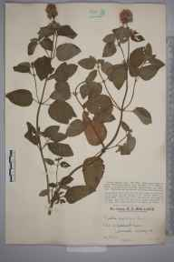 Mentha aquatica herbarium specimen from Betchworth, VC17 Surrey in 1927 by Mr Edward Charles Wallace.