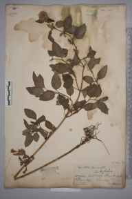 Mentha aquatica herbarium specimen from Frimley, VC17 Surrey in 1884 by Mr William Hadden Beeby.