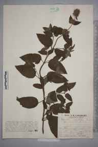 Mentha aquatica herbarium specimen from Coldharbour, VC17 Surrey in 1927 by Mr Job Edward Lousley.