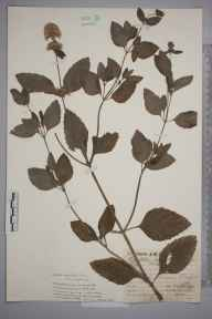 Mentha aquatica herbarium specimen from Claygate, VC17 Surrey in 1929 by Mr Job Edward Lousley.
