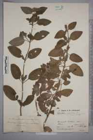 Mentha aquatica herbarium specimen from Shere, VC17 Surrey in 1931 by Mr Job Edward Lousley.