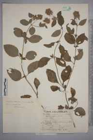 Mentha aquatica herbarium specimen from Stowmarket, VC26 West Suffolk in 1929 by Mr Job Edward Lousley.