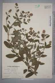 Mentha aquatica herbarium specimen from Chiddingfold, VC17 Surrey in 1938 by Mr Arthur Langford Still.
