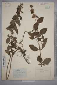 Mentha arvensis x aquatica = M. x verticillata herbarium specimen from Landport, VC14 East Sussex in 1850 by Joseph Woods.