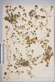 Cochlearia danica herbarium specimen from Penzance, VC1 West Cornwall in 1899 by Mr Allan Octavian Hume.