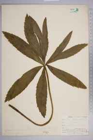 Helleborus viridis herbarium specimen from Newquay, VC1 West Cornwall in 1902 by Dr Chambre Corker Vigurs.