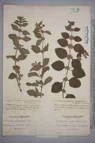 Mentha arvensis herbarium specimen from Wheddon Cross, VC5 South Somerset in 1929 by Mr Edward Charles Wallace.