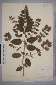 Mentha arvensis x aquatica = M. x verticillata herbarium specimen from East Looe, VC2 East Cornwall in 1900 by Mr Allan Octavian Hume.
