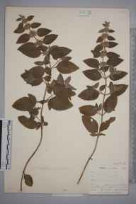 Mentha arvensis x aquatica = M. x verticillata herbarium specimen from West Looe, VC2 East Cornwall in 1900 by Mr Allan Octavian Hume.