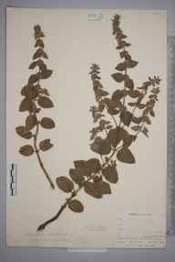 Mentha arvensis x aquatica = M. x verticillata herbarium specimen from Liskeard, Moorswater, VC2 East Cornwall in 1900 by Mr Allan Octavian Hume.