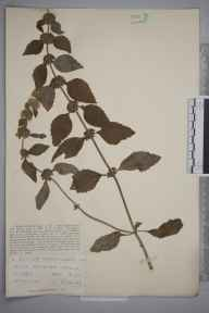 Mentha arvensis x aquatica = M. x verticillata herbarium specimen from Great Bookham Common, VC17 Surrey in 1929 by Mr Job Edward Lousley.