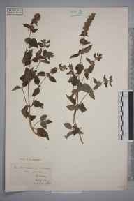 Mentha arvensis x aquatica = M. x verticillata herbarium specimen from Broadmoor, VC17 Surrey in 1929 by S A Chambers.