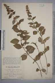 Mentha arvensis x aquatica = M. x verticillata herbarium specimen from Epsom Common, VC17 Surrey in 1929 by Mr Edward Charles Wallace.