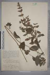 Mentha arvensis x aquatica = M. x verticillata herbarium specimen from Linch, VC13 West Sussex in 1929 by Rev Rowland John Burdon.