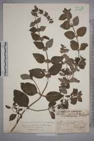 Mentha arvensis x aquatica = M. x verticillata herbarium specimen from Claygate, VC17 Surrey in 1929 by Mr Job Edward Lousley.