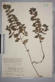 Mentha arvensis herbarium specimen from Shapwick, VC6 North Somerset in 1926 by Ida Mary Roper.