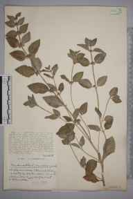 Mentha arvensis x aquatica = M. x verticillata herbarium specimen from Walton, VC6 North Somerset in 1932 by Mr Harold Stuart Thompson.