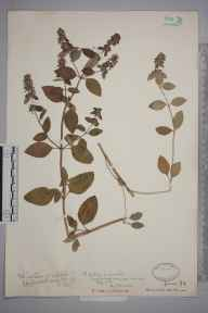 Mentha arvensis x aquatica = M. x verticillata herbarium specimen from Earlswood Common, VC17 Surrey in 1929 by J Fraser.
