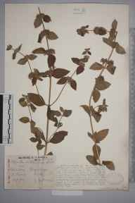 Mentha arvensis x aquatica = M. x verticillata herbarium specimen from Fingringhoe, VC19 North Essex in 1926 by George Charles Brown.